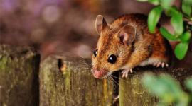 CrazyLegs Rodent Control